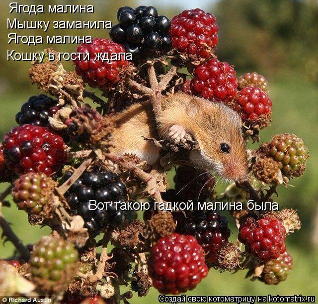 Котоматрица: Ягода малина Мышку заманила Ягода малина Кошку в гости ждала Вот такою гадкой малина была