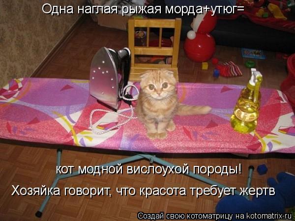 Котоматрица: Одна наглая рыжая морда+утюг= кот модной вислоухой породы! Хозяйка говорит, что красота требует жертв