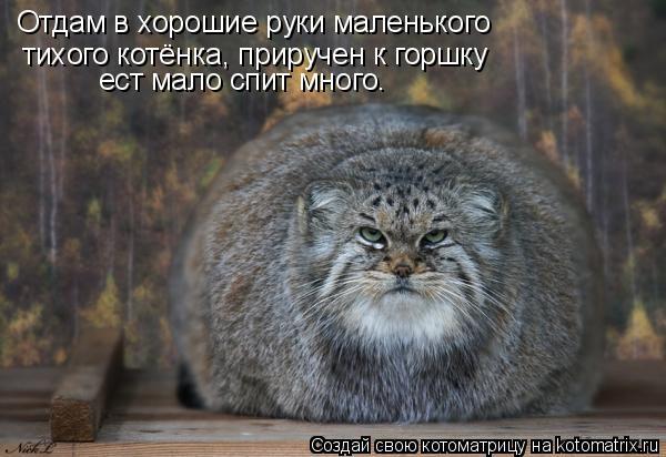 Котоматрица: Отдам в хорошие руки маленького тихого котёнка, приручен к горшку ест мало спит много.