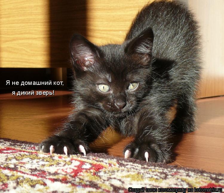 Котоматрица: Я не домашний кот,  я дикий зверь!