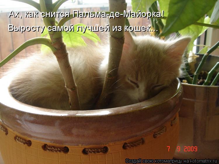 Котоматрица: Ах, как снится Пальма-де-Майорка! Выросту самой лучшей из кошек...