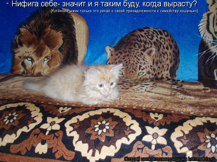 Котоматрица: Нифига себе- значит и я таким буду, когда вырасту?  (Котёнок Рыжик только что узнал о своей принадлежности к семейству кошачьих) -