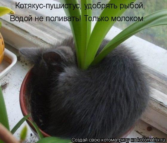 Котоматрица: Котякус-пушистус, удобрять рыбой, Водой не поливать! Только молоком.
