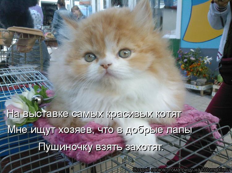 Котоматрица: На выставке самых красивых котят Мне ищут хозяев, что в добрые лапы Пушиночку взять захотят.
