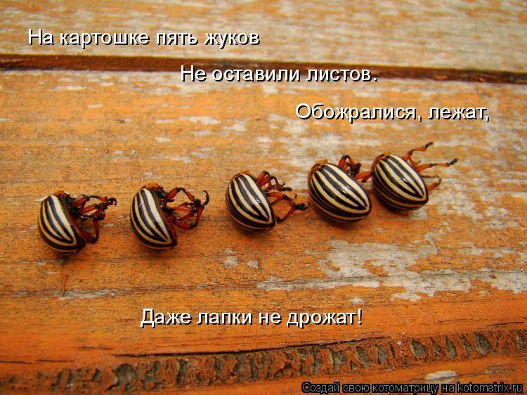 Котоматрица: На картошке пять жуков  Не оставили листов. Обожралися, лежат, Даже лапки не дрожат!
