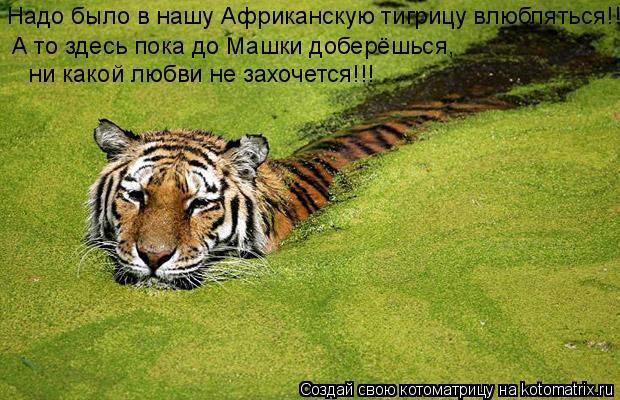 Котоматрица: Надо было в нашу Африканскую тигрицу влюбляться!!! А то здесь пока до Машки доберёшься,  ни какой любви не захочется!!!