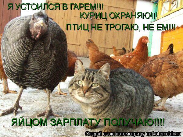 Котоматрица: Я УСТОИЛСЯ В ГАРЕМ!!! КУРИЦ ОХРАНЯЮ!!! ПТИЦ НЕ ТРОГАЮ, НЕ ЕМ!!! ЯЙЦОМ ЗАРПЛАТУ ПОЛУЧАЮ!!!!