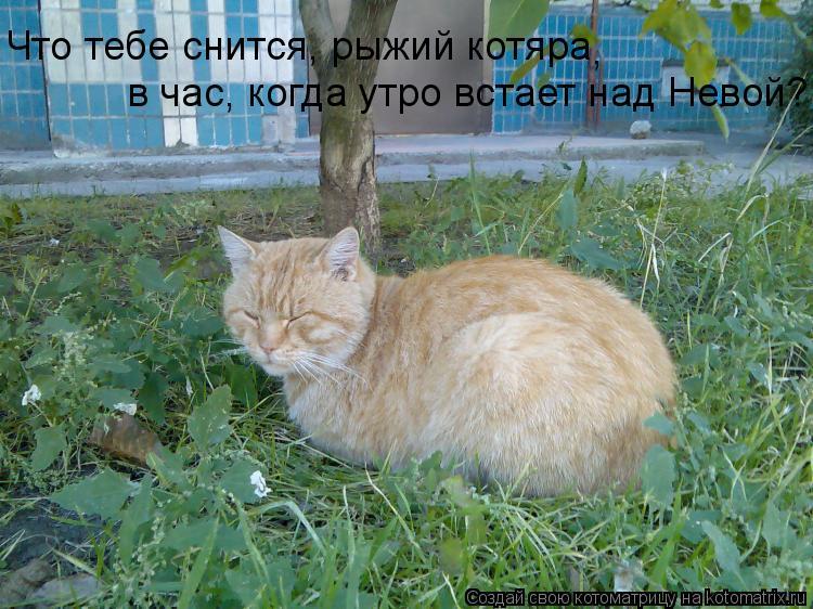 Котоматрица: Что тебе снится, рыжий котяра в час, когда утро встает над Невой? ,