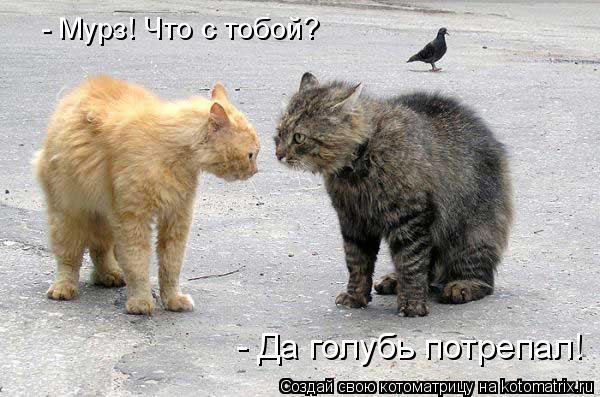 Котоматрица: - Мурз! Что с тобой? - Да голубь потрепал!
