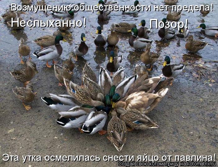 Котоматрица: Возмущению общественности нет предела!  Неслыханно!  Позор!  Эта утка осмелилась снести яйцо от павлина!