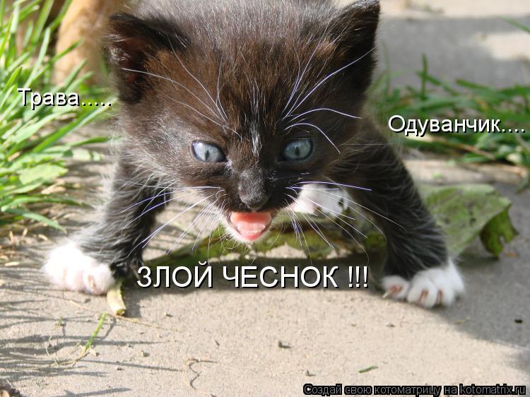 Котоматрица: Трава.....  Одуванчик.... ЗЛОЙ ЧЕСНОК !!!