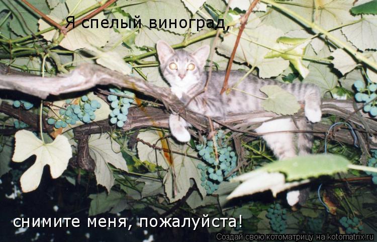 Котоматрица: Я спелый виноград,  снимите меня, пожалуйста!