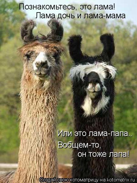 Котоматрица: Познакомьтесь, это лама! Лама дочь и лама-мама Или это лама-папа.. Вобщем-то,  он тоже лапа!