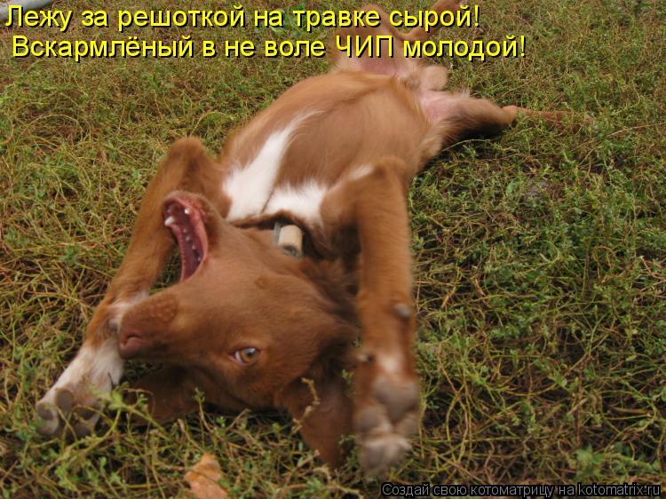 Котоматрица: Лежу за решоткой на травке сырой!  Вскармлёный в не воле ЧИП молодой!