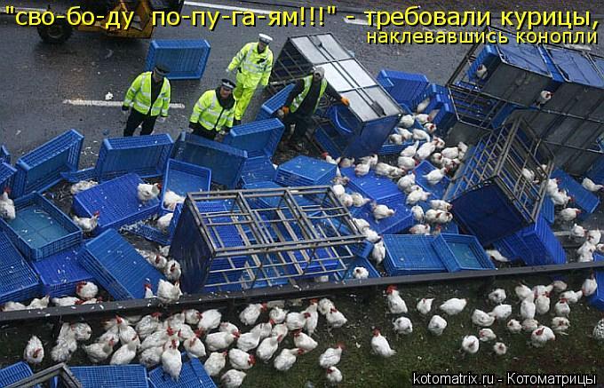 """Котоматрица: """"сво-бо-ду  по-пу-га-ям!!!"""" - требовали курицы,  наклевавшись конопли"""