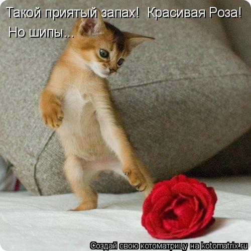 Котоматрица: Такой приятый запах!  Красивая Роза! Но шипы...