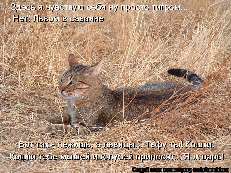 Котоматрица: Здесь я чувствую себя ну просто тигром... Нет! Львом в саванне Вот так - лежишь, а львицы... Тьфу ты! Кошки! Кошки тебе мышей и голубей приносят...