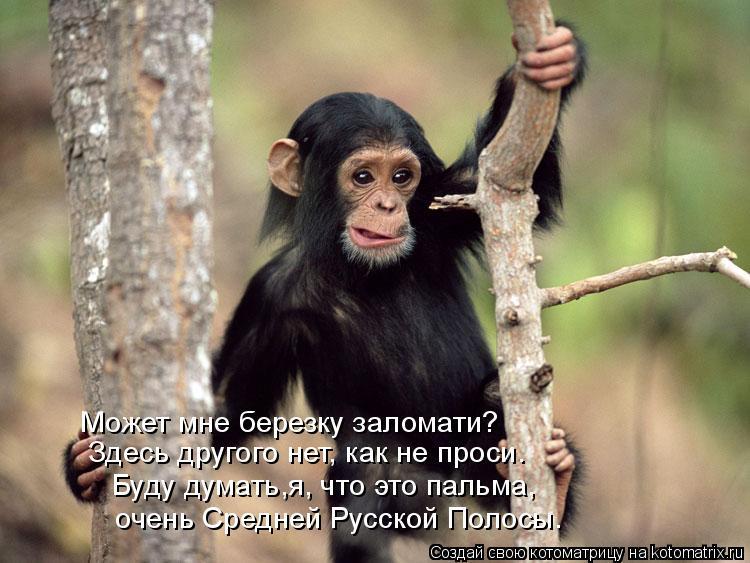 Котоматрица: Может мне березку заломати? Здесь другого нет, как не проси. Буду думать,я, что это пальма,   очень Средней Русской Полосы.