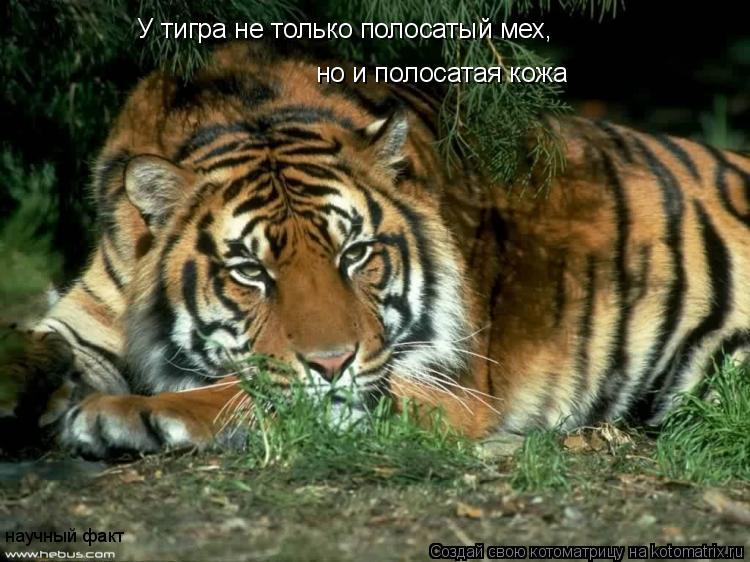 Котоматрица: У тигра не только полосатый мех, но и полосатая кожа научный факт