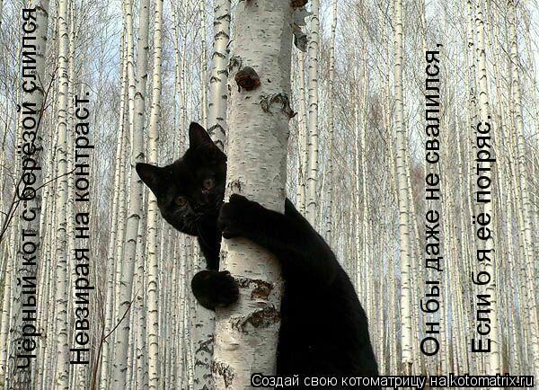 Котоматрица: Чёрный кот с берёзой слился Если б я её потряс. Он бы даже не свалился, Невзирая на контраст.