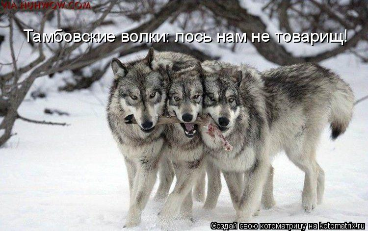 Котоматрица: Тамбовские волки: лось нам не товарищ!