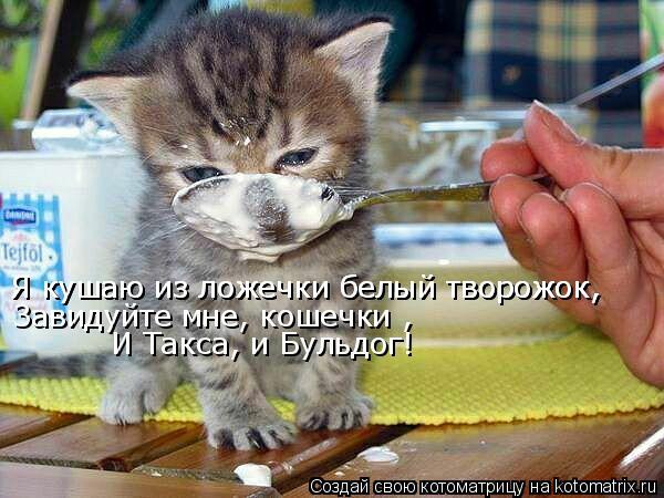 Котоматрица: Я кушаю из ложечки белый творожок, Я кушаю из ложечки белый творожок, Завидуйте мне, кошечки , И Такса, и Бульдог!