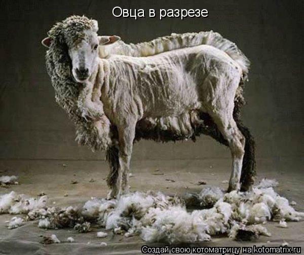 Котоматрица: Овца в разрезе