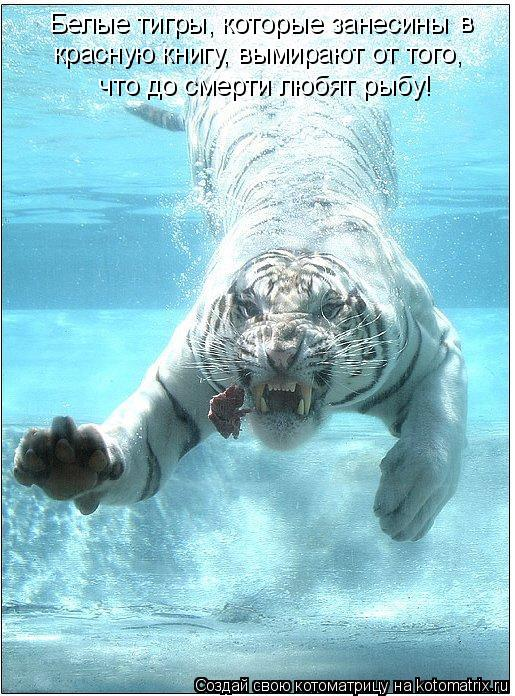 Котоматрица: Белые тигры, которые занесины  в красную книгу, вымирают от того,   что до смерти любят рыбу!