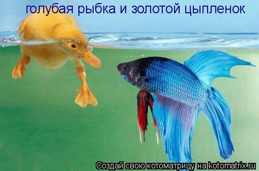 Котоматрица: голубая рыбка и золотой цыпленок