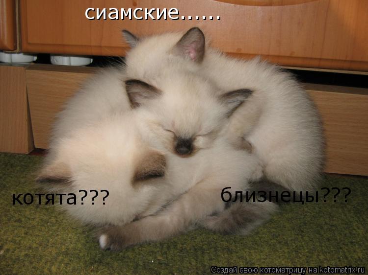 Котоматрица: сиамские...... котята??? близнецы???