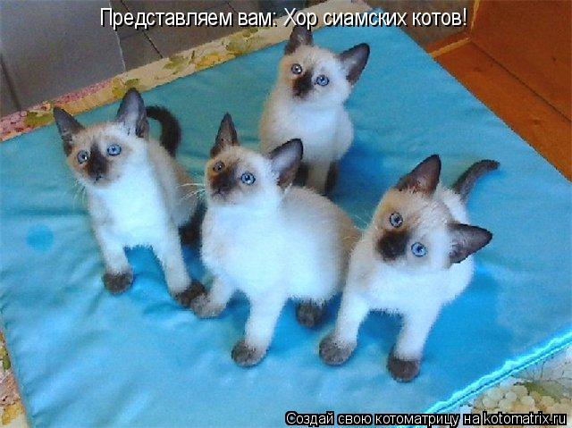 Котоматрица: Представляем вам: Хор сиамских котов!