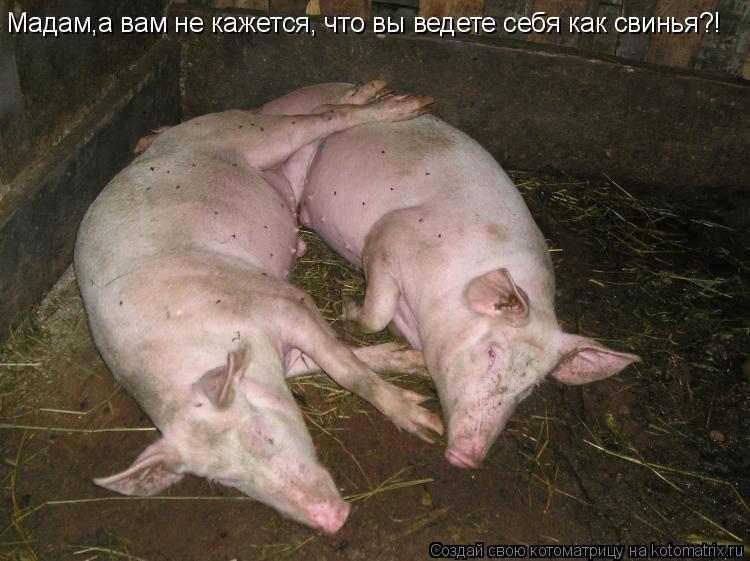 Котоматрица: Мадам,а вам не кажется Мадам,а вам не кажется, что вы ведете себя как свинья?!