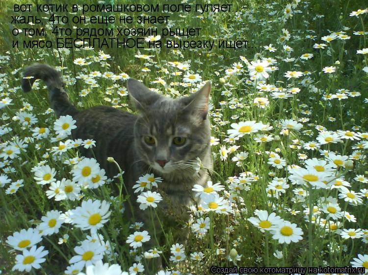 Котоматрица: вот котик в ромашковом поле гуляет... жаль, 4то он еще не знает о том, 4то рядом хозяин рыщет и мясо БЕСПЛАТНОЕ на вырезку ищет...