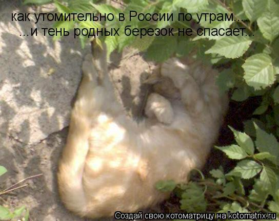 Котоматрица: как утомительно в России по утрам.... ...и тень родных березок не спасает...
