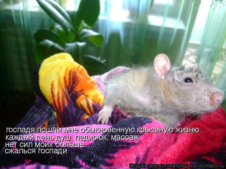 Котоматрица: госпадя пошли мне обыкновенную крысиную жизню... каждый день душ, педирюк, массаж,  нет сил моих больше..... сжалься госпади