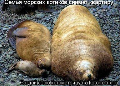 Котоматрица: Семья морских котиков снимет квартиру