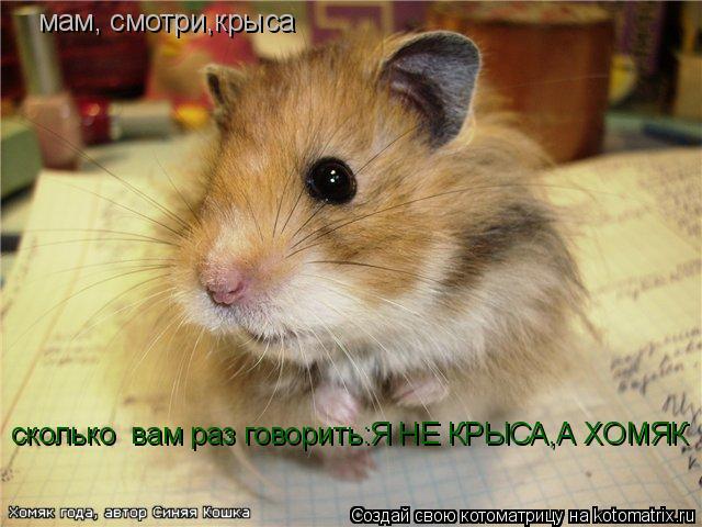 Котоматрица: мам, смотри,крыса сколько  вам раз говорить:Я НЕ КРЫСА,А ХОМЯК