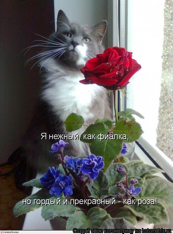 Котоматрица: Я нежный, как фиалка, но гордый и прекрасный - как роза!