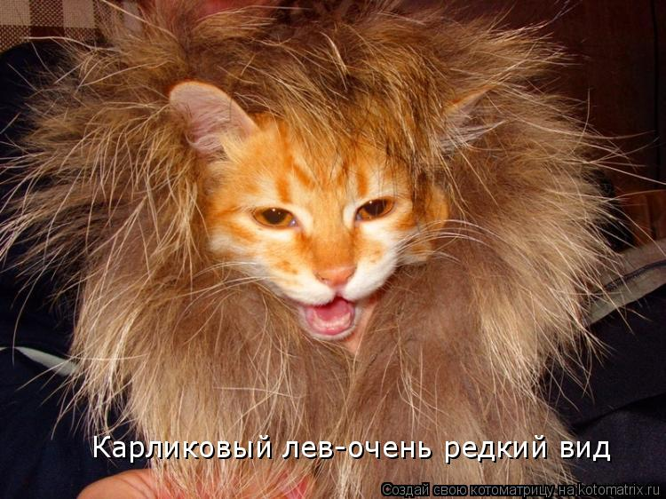 Котоматрица: Карликовый лев-очень редкий вид