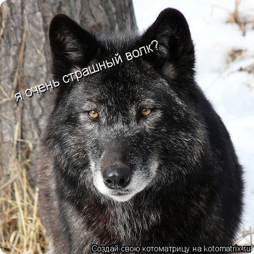 Котоматрица: я очень страшный волк?