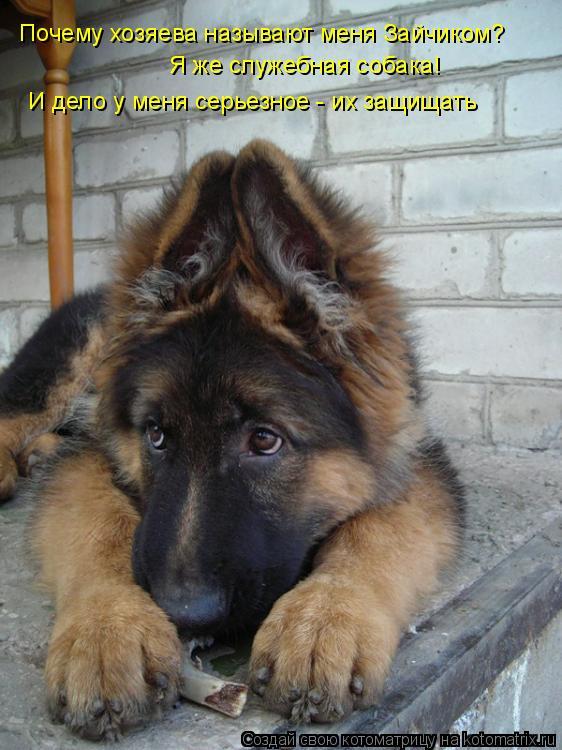 Котоматрица: Почему хозяева называют меня Зайчиком? Я же служебная собака! И дело у меня серьезное - их защищать