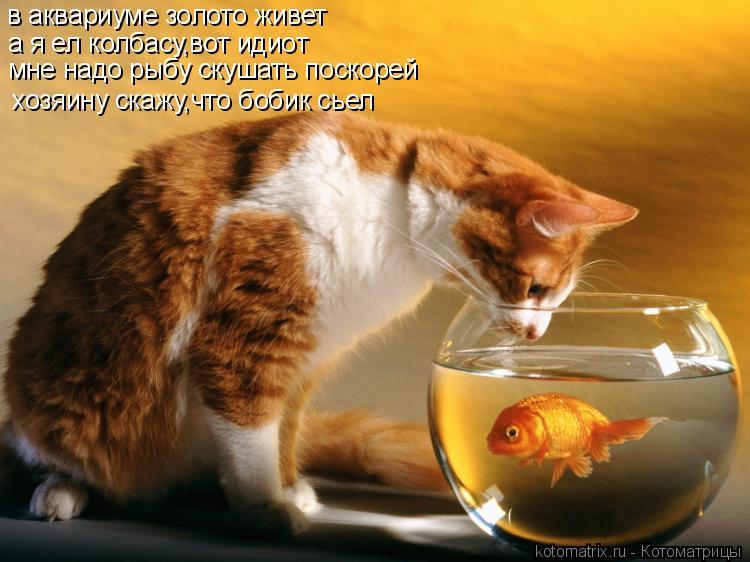 Котоматрица: в аквариуме золото живет а я ел колбасу,вот идиот мне надо рыбу скушать поскорей хозяину скажу,что бобик сьел
