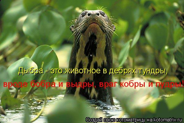 Котоматрица: Дыбра - это животное в дебрях тундры, вроде бобра и выдры, враг кобры и пудры!