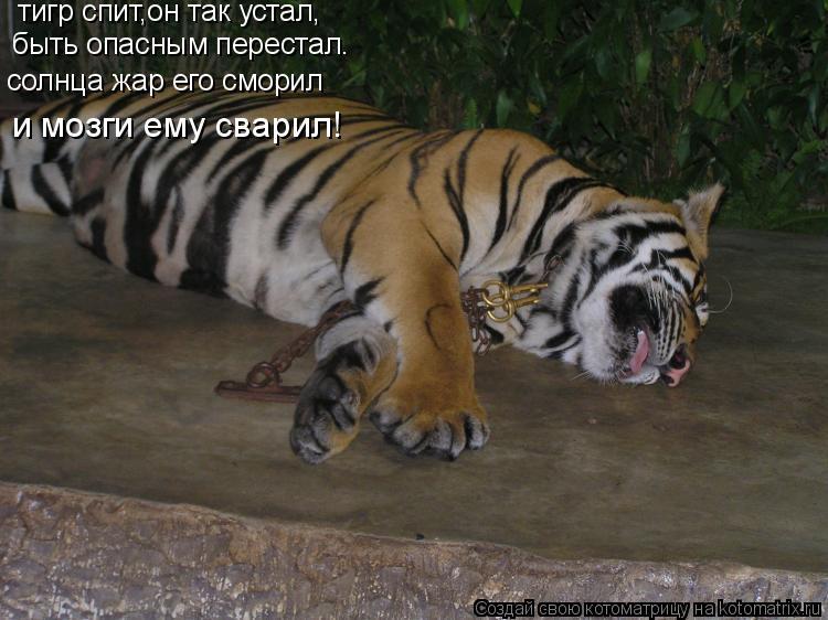 Котоматрица: тигр спит,он так устал, быть опасным перестал. солнца жар его сморил и мозги ему сварил!