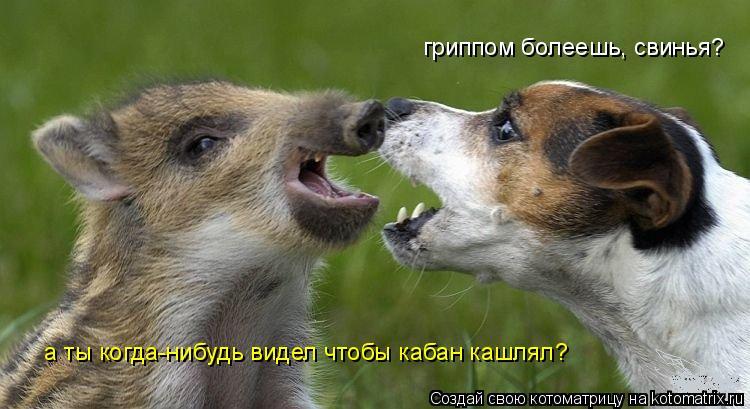 Котоматрица: гриппом болеешь, свинья? а ты когда-нибудь видел чтобы кабан кашлял?
