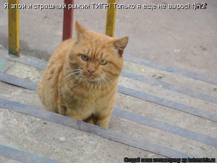 Котоматрица: Я злой и страшный рыжий ТИГР! Только я ещё не вырос! :)Н2