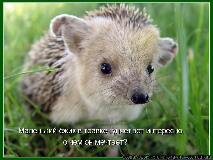 Котоматрица: Маленький ёжик в травке гуляет,вот интересно, о чем он мечтает?!