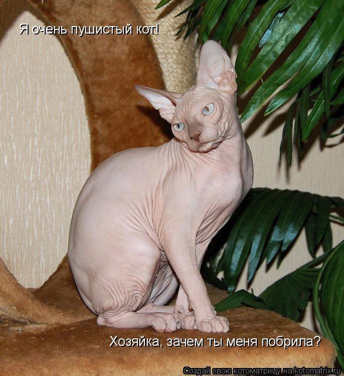 Котоматрица: Я очень пушистый кот!  Хозяйка, зачем ты меня побрила?