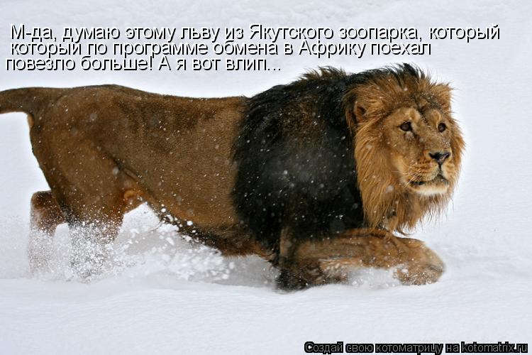 Котоматрица: М-да, думаю этому льву из Якутского зоопарка, который  который по программе обмена в Африку поехал  повезло больше! А я вот влип...