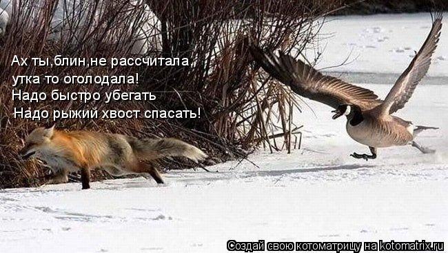 Котоматрица: Ах ты,блин,не рассчитала, Надо быстро убегать Надо рыжий хвост спасать! утка то оголодала!